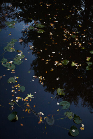 Image: Lily Pads and Leaves in Late October, 2018